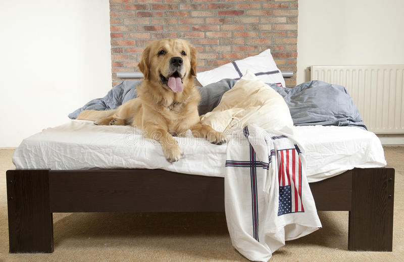 Golden retriever demolishes a pillow royalty free stock photos