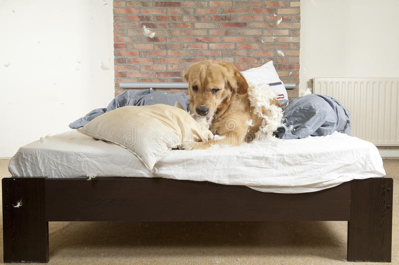 Golden retriever demolishes a pillow. On a bed in a bedroom stock images