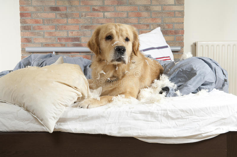 Golden retriever demolishes a pillow. On a bed in a bedroom royalty free stock photo