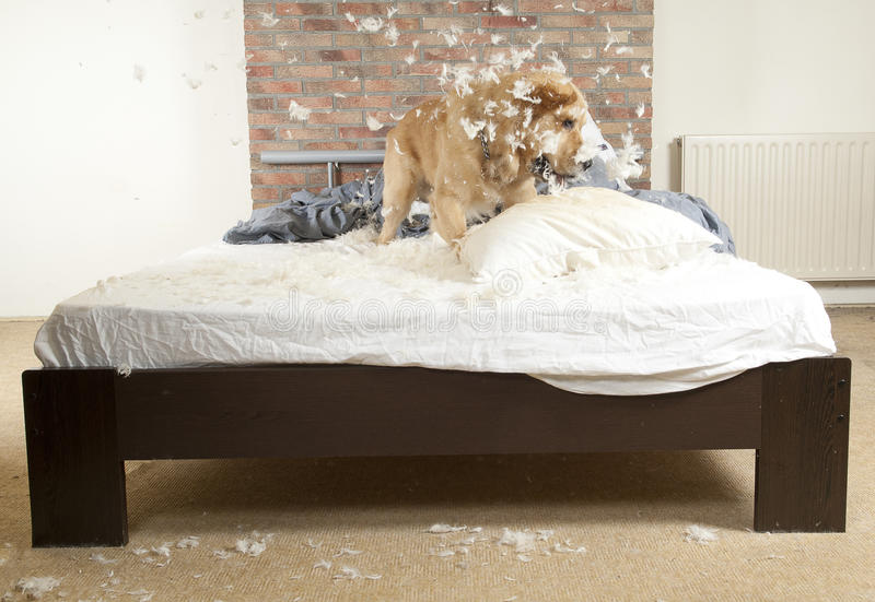 Golden retriever demolishes a pillow. On a bed in a bedroom royalty free stock image