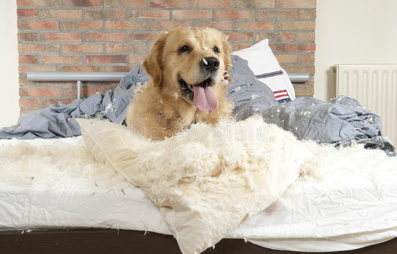 Golden retriever demolishes a pillow. On a bed in a bedroom royalty free stock photography