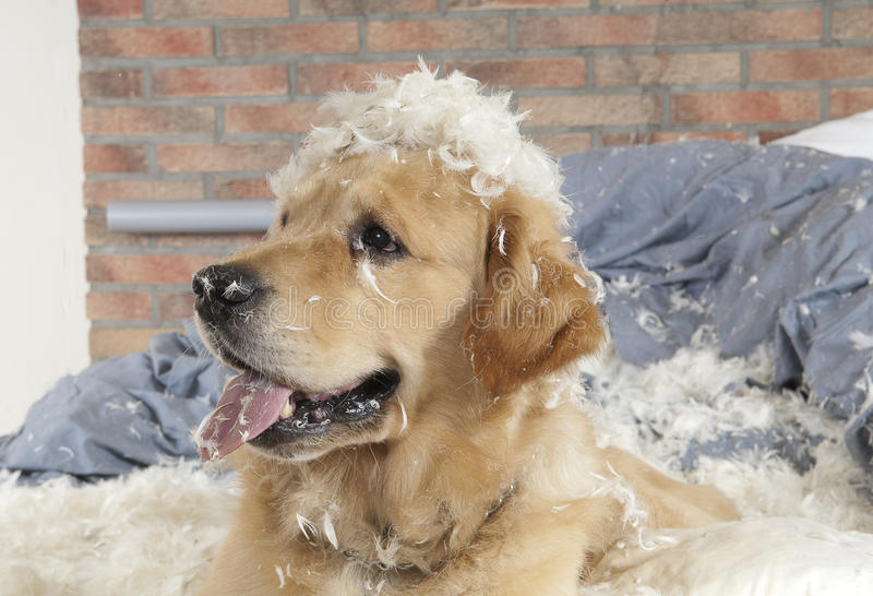 Golden retriever demolishes a pillow. On a bed in a bedroom stock photography