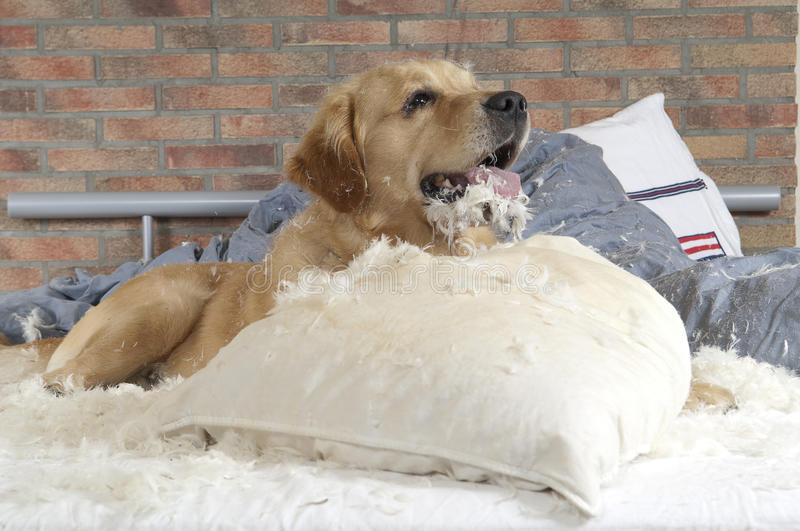 Golden retriever demolishes a pillow. On a bed in a bedroom stock image