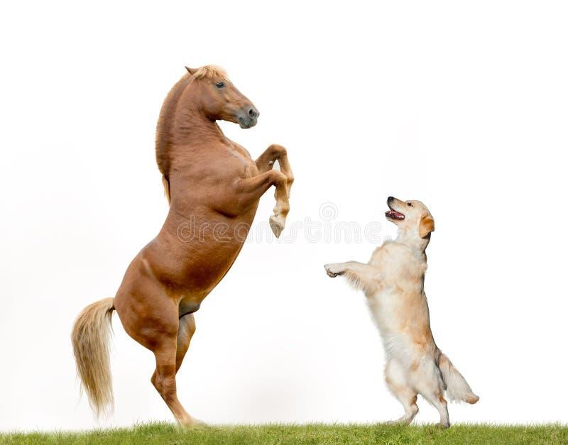 Golden retriever die met paard dansen royalty-vrije stock fotografie
