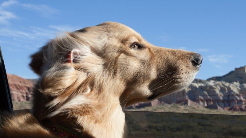 Golden retriever die van een autorit genieten royalty-vrije stock fotografie