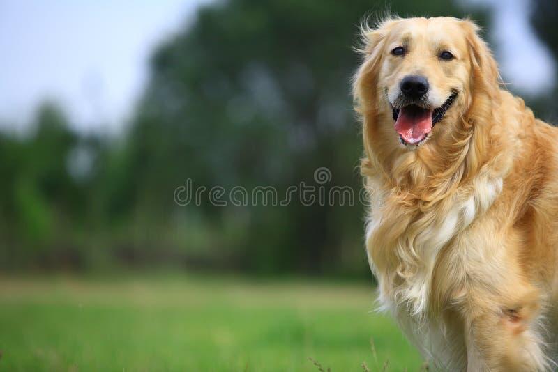 Golden retriever dog. A golden retriever dog in park