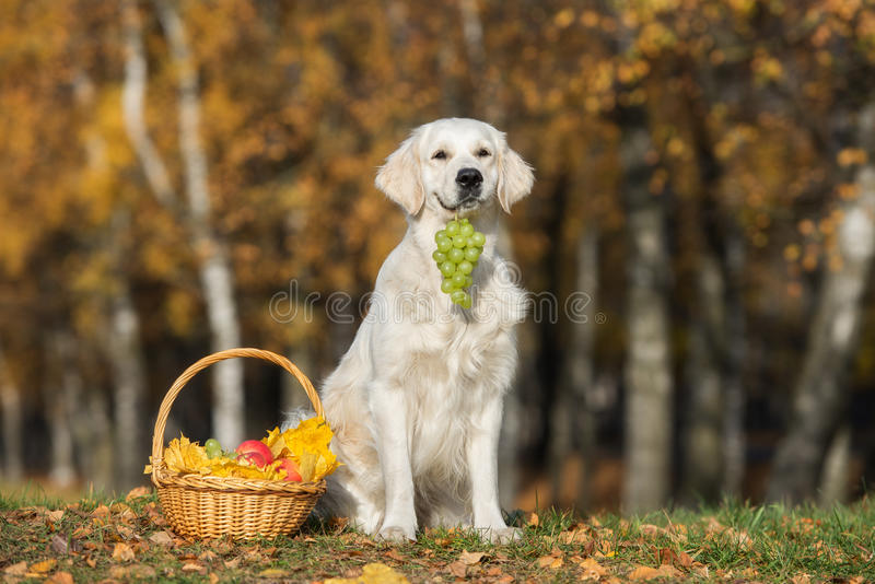 Golden retriever dog with basket of fruits outdoors in autumn stock photo