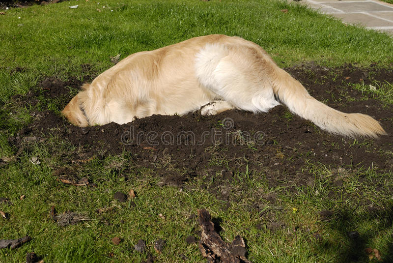 Golden Retriever dog digging hole royalty free stock photography