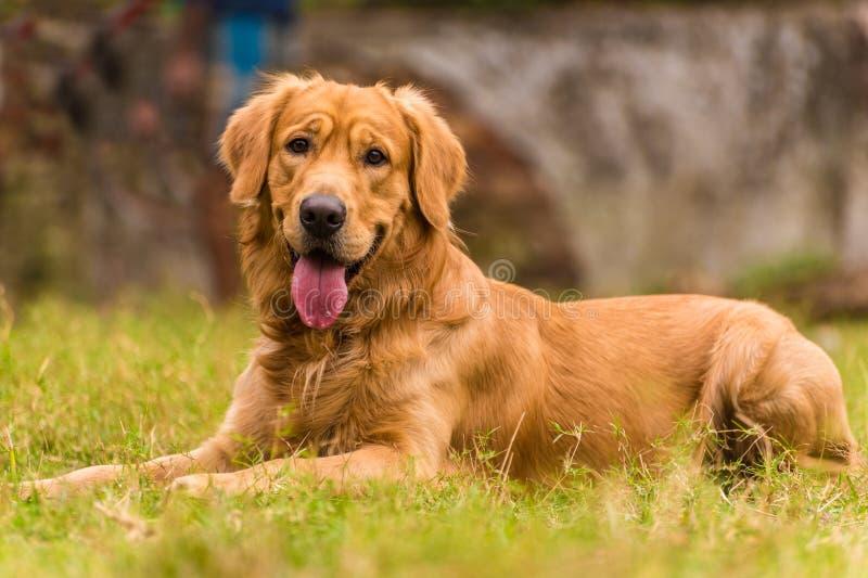 Golden retriever dog stock image