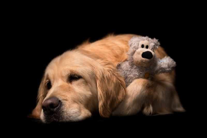Download Golden Retriever Dog Isolated On Black Stock Image - Image of pedigree, brown: 104913055