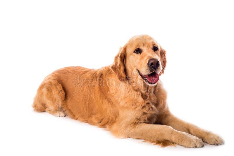 Golden Retriever dog isolated on white stock images