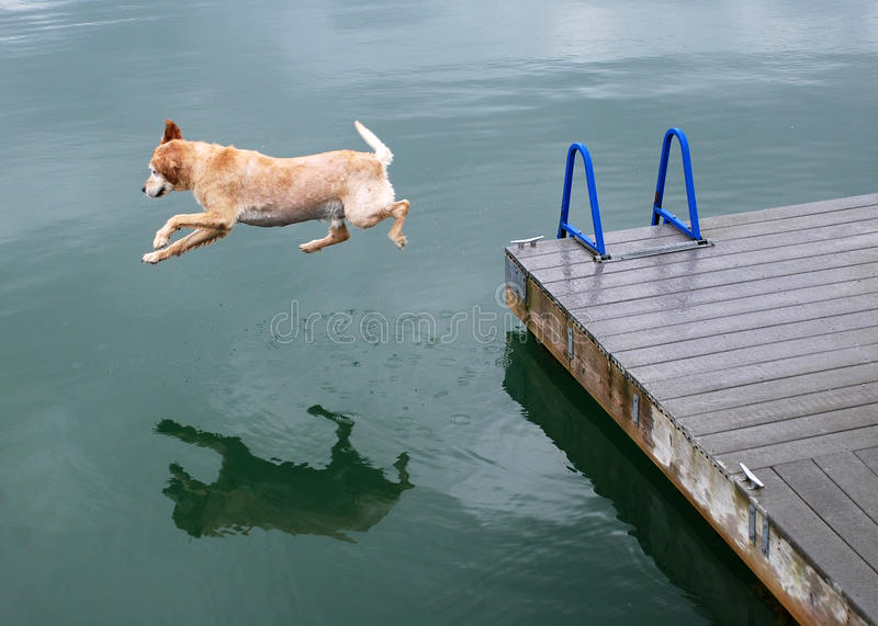 Download Golden Retriever Dog Jumps Off Dock Stock Image - Image: 19921085