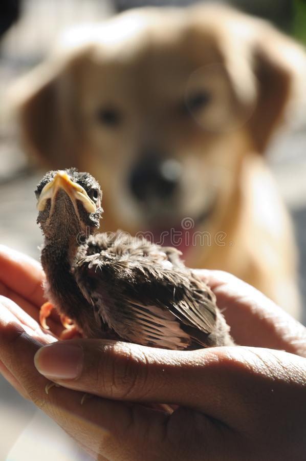 Golden Retriever dog look at bird on woman hand, Vertical color image. Golden Retriever dog look at bird saved on woman hand, Vertical color image royalty free stock photography