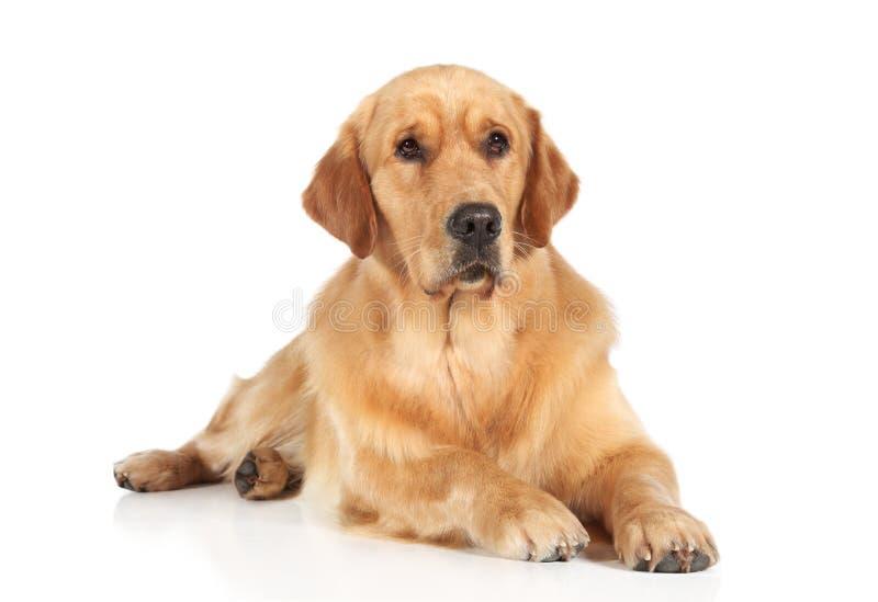Golden Retriever dog lying on the floor royalty free stock photo