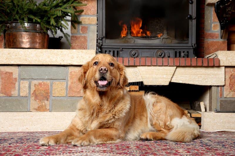 Golden retriever dog lying near a fireplace royalty free stock image