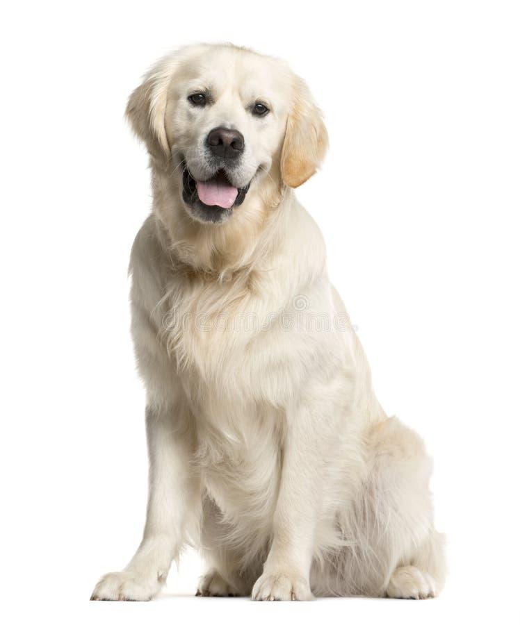 Old Golden Retriever Dog Isolated. Stock Photo