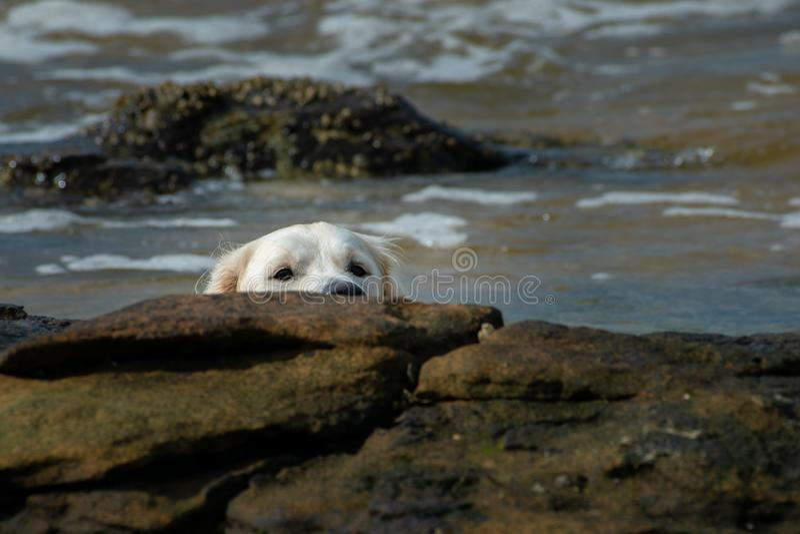 A Golden Retriever dog playing on the sea foreshore stock photos