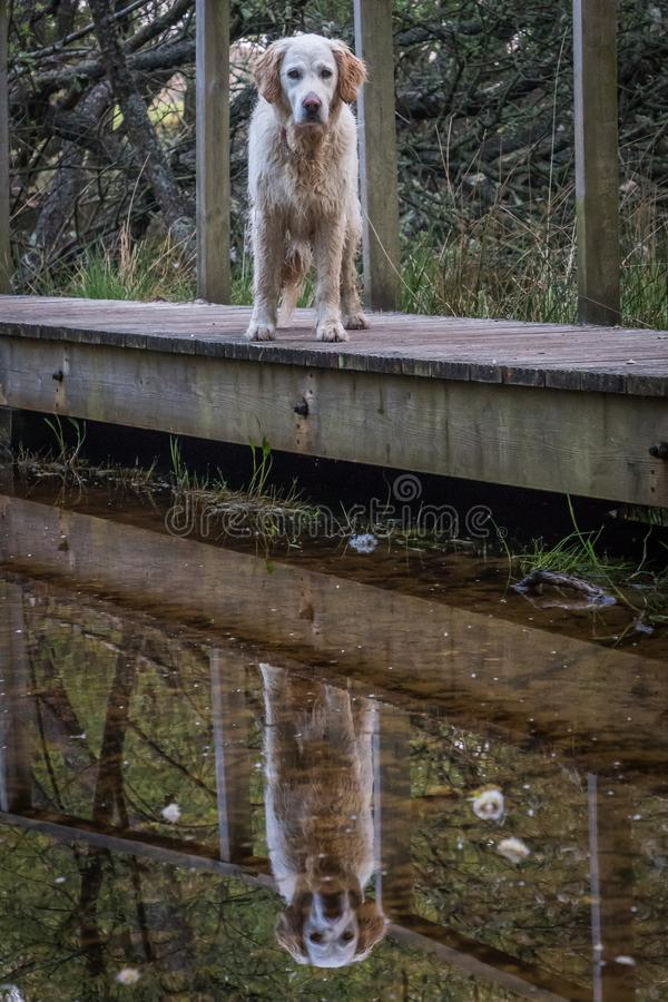 Golden retriever dog reflections on board walk stock photo