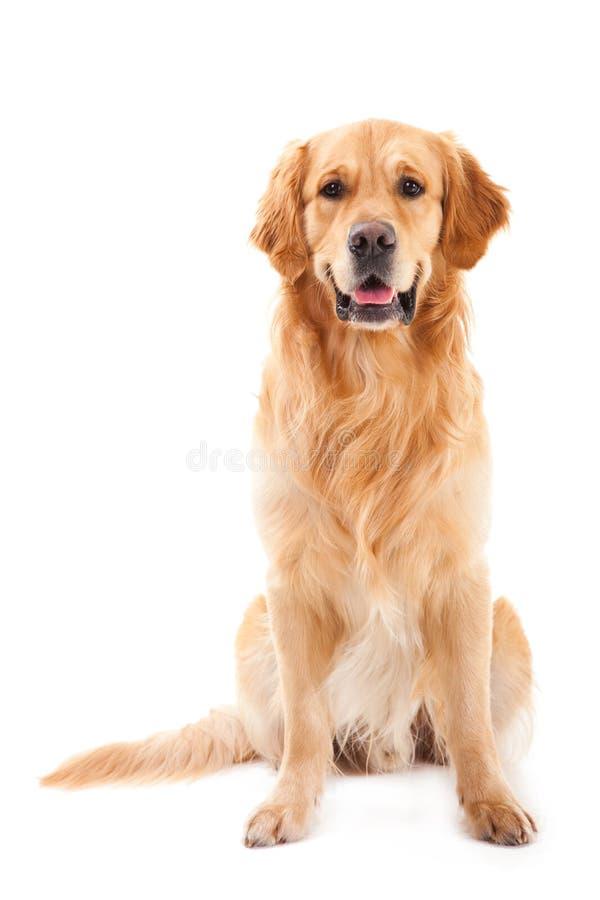 Free Golden Retriever Dog Sitting On White Stock Photo - 24750780