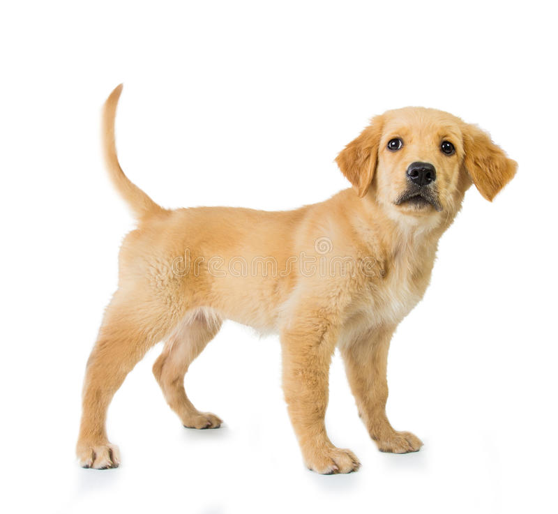 Golden retriever dog standing isolated in white background. A portrait of a Golden retriever dog standing isolated in white background stock photo
