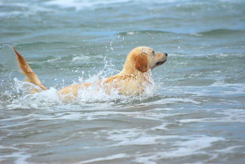 Golden Retriever dog swimming stock images