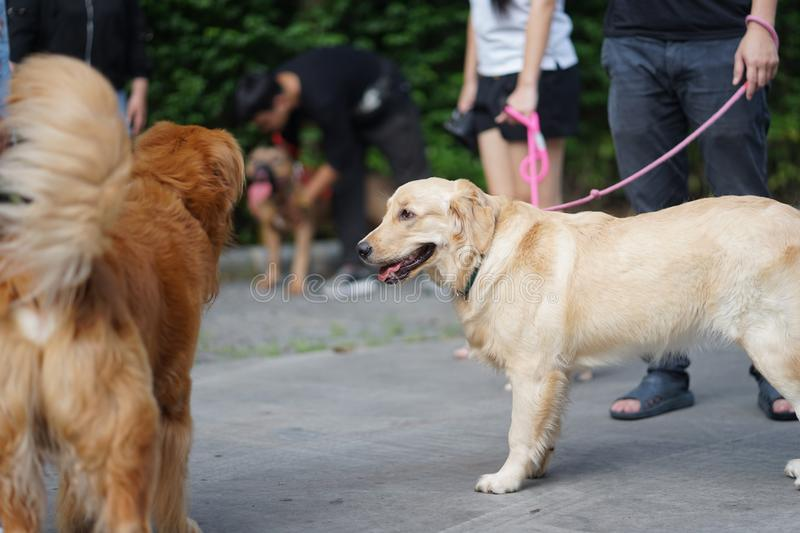 Golden retriever dog walking side by side with his owner. Golden retriever dog walking side by side with her owner in the dog community stock image