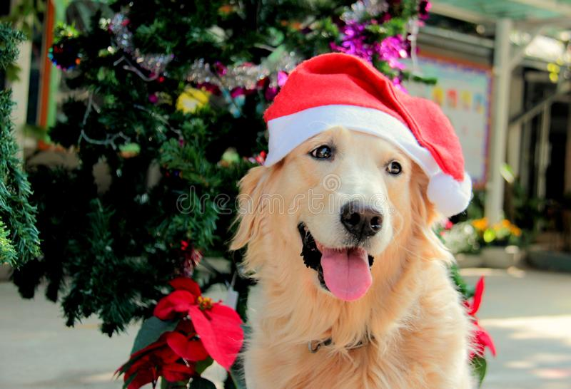 Golden retriever dog wearing Christmas hat and smile. Happily beside the Christmas tree royalty free stock photo