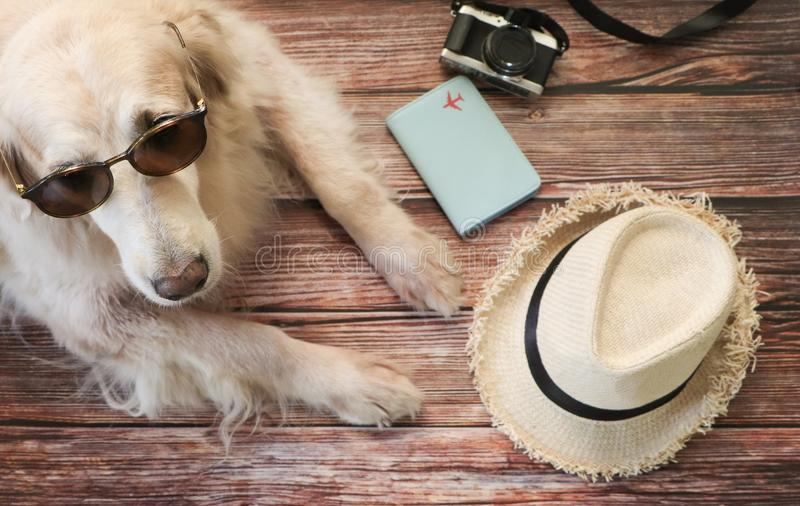 Golden retriever dog wearing sun glasses laying down on wooden floor with travel accessories , hat, camera, passport cover stock photos