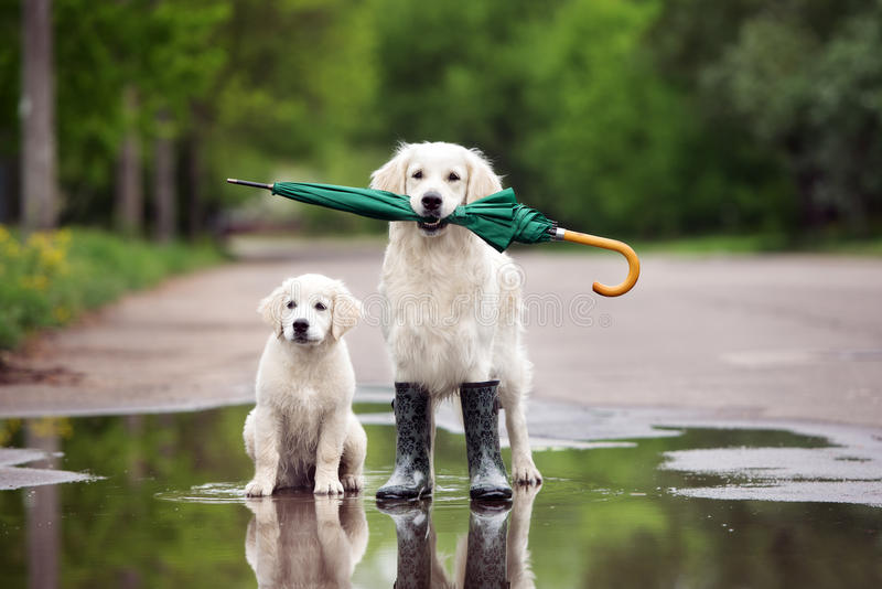 Golden retriever dogs in rain boots holding an umbrella stock images
