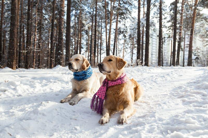 Golden retriever dwa psa kłama w śniegu zdjęcia royalty free