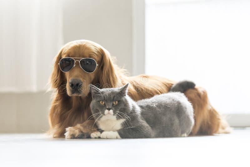 Golden retriever e gatto grigio immagine stock libera da diritti