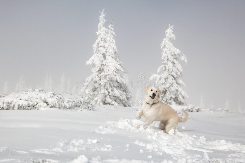 Golden retriever en montagnes d'hiver images stock