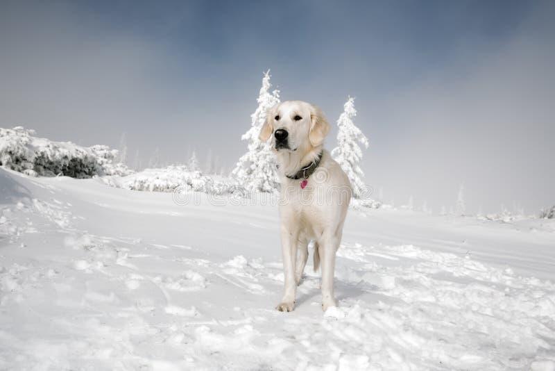 Golden retriever en montagnes d'hiver photographie stock libre de droits