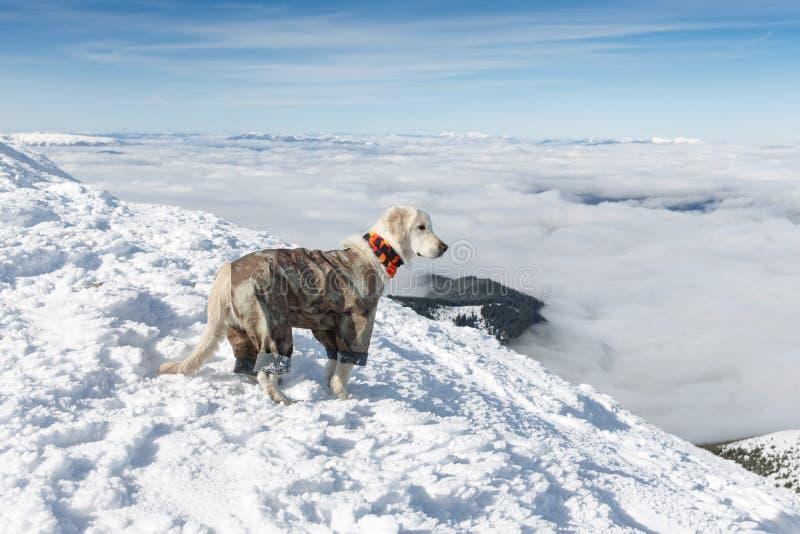 Golden retriever en montagnes d'hiver photographie stock