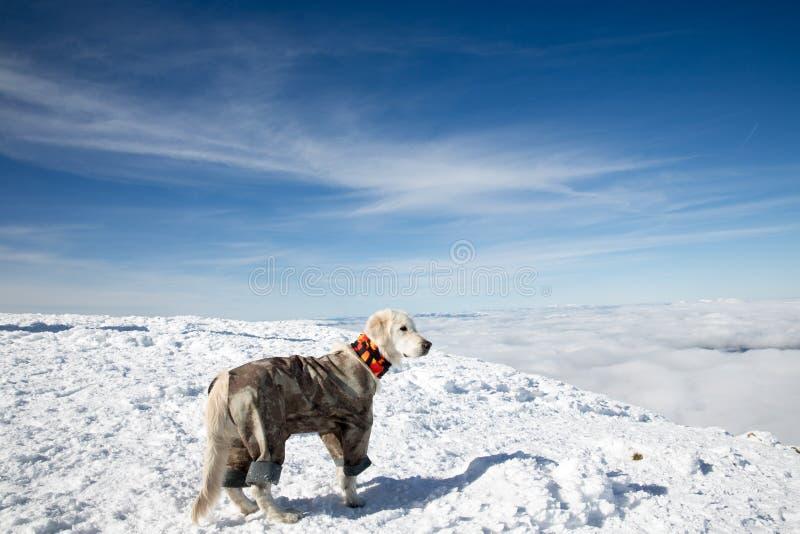Golden retriever en montagnes d'hiver image libre de droits