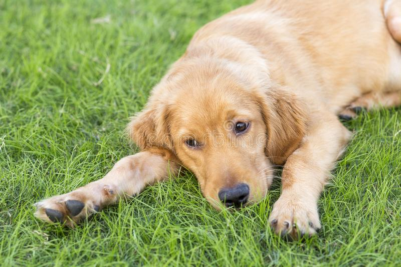 Golden Retriever. English:  The initial name is the Soviet-Russian dog, and later joined the Buddha hunting dog breed, blood hedge breed, water hunting dog stock images