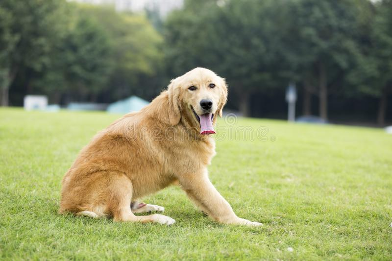 Golden Retriever. English:  The initial name is the Soviet-Russian dog, and later joined the Buddha hunting dog breed, blood hedge breed, water hunting dog stock photo