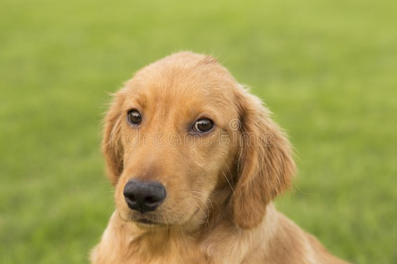 Golden Retriever. English:  The initial name is the Soviet-Russian dog, and later joined the Buddha hunting dog breed, blood hedge breed, water hunting dog royalty free stock images