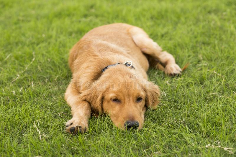 Golden Retriever. English:  The initial name is the Soviet-Russian dog, and later joined the Buddha hunting dog breed, blood hedge breed, water hunting dog royalty free stock photos