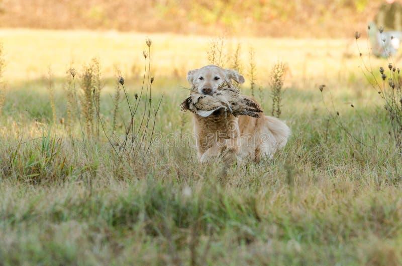 Golden retriever-Fasan-Jagd lizenzfreies stockfoto