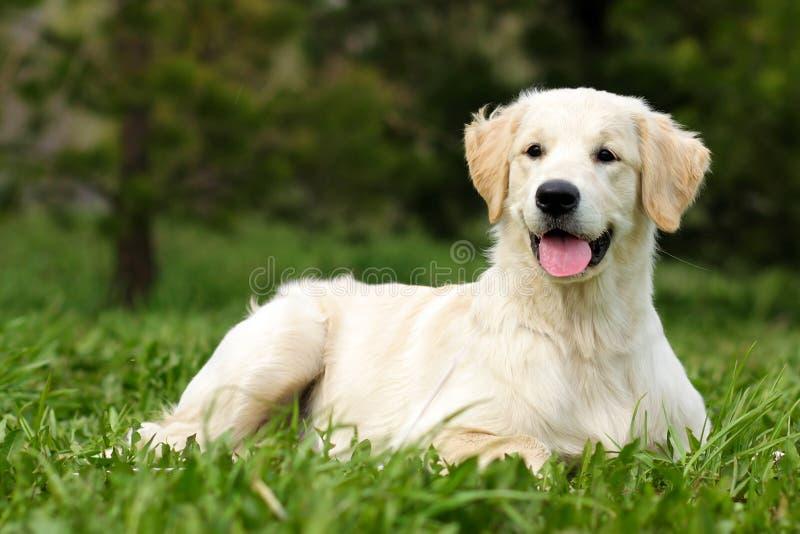 Golden retriever felice del cucciolo fotografia stock libera da diritti