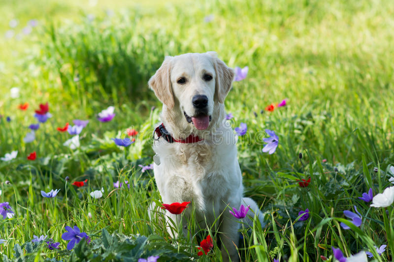 Download Golden Retriever In The Field Stock Image - Image of hunting, full: 83720249