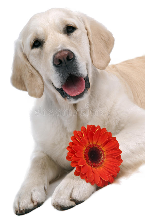 Golden Retriever With Flower Royalty Free Stock Photography