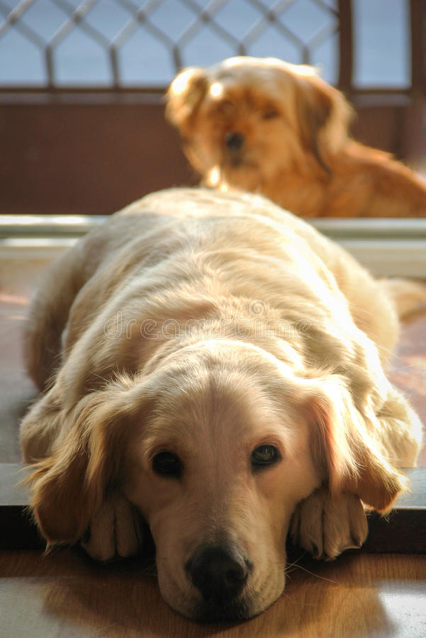 Golden Retriever And A Friend Royalty Free Stock Photo