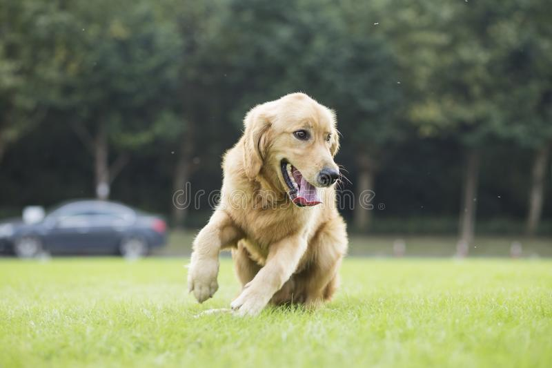 Golden Retriever. English:  The initial name is the Soviet-Russian dog, and later joined the Buddha hunting dog breed, blood hedge breed, water hunting dog royalty free stock image