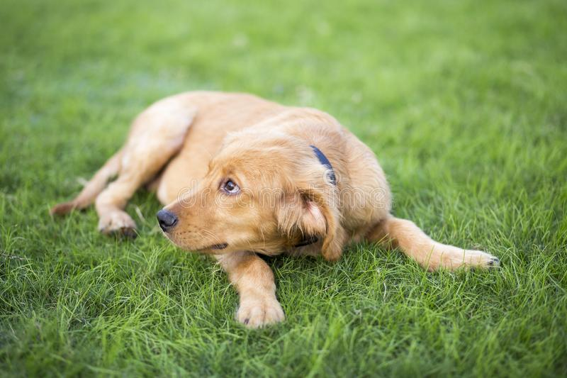 Golden Retriever. English:  The initial name is the Soviet-Russian dog, and later joined the Buddha hunting dog breed, blood hedge breed, water hunting dog stock image