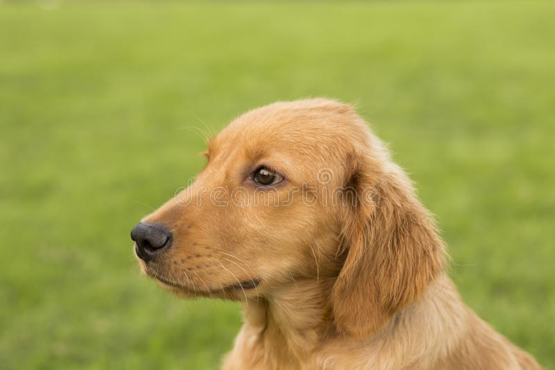 Golden Retriever. English:  The initial name is the Soviet-Russian dog, and later joined the Buddha hunting dog breed, blood hedge breed, water hunting dog royalty free stock photography