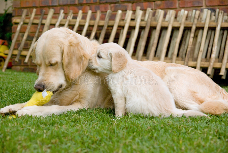 Golden Retriever GR puppy smelling his mother royalty free stock images