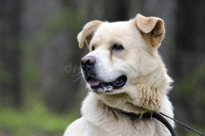 Golden Retriever Great Pyrenees mix dog. Male Lab Golden Retriever Great Pyrenees mixed breed dog. Outdoors on leash. Pet adoption photography for Walton County royalty free stock images