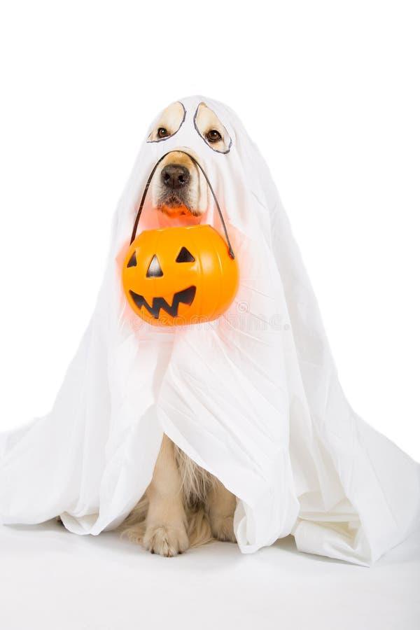 Golden retriever Halloween imagen de archivo libre de regalías